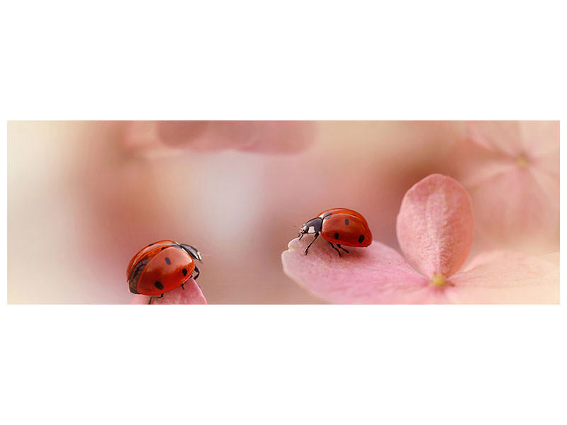 Panoramic Canvas Print Ladybirds On Pink Hydrangea