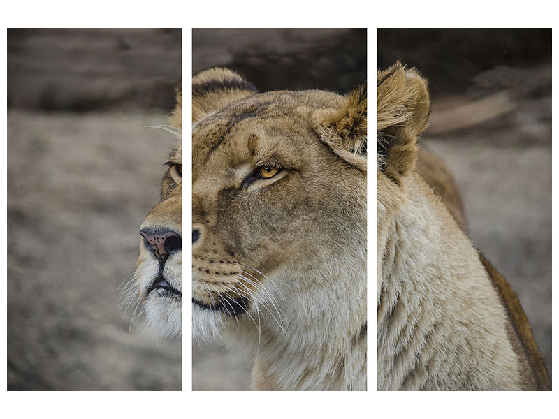 3 Piece Canvas Print Head of a lioness