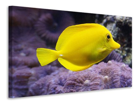 Canvas print The lemon-doctor fish