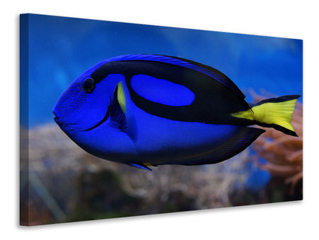Canvas print The pallet doctorfish