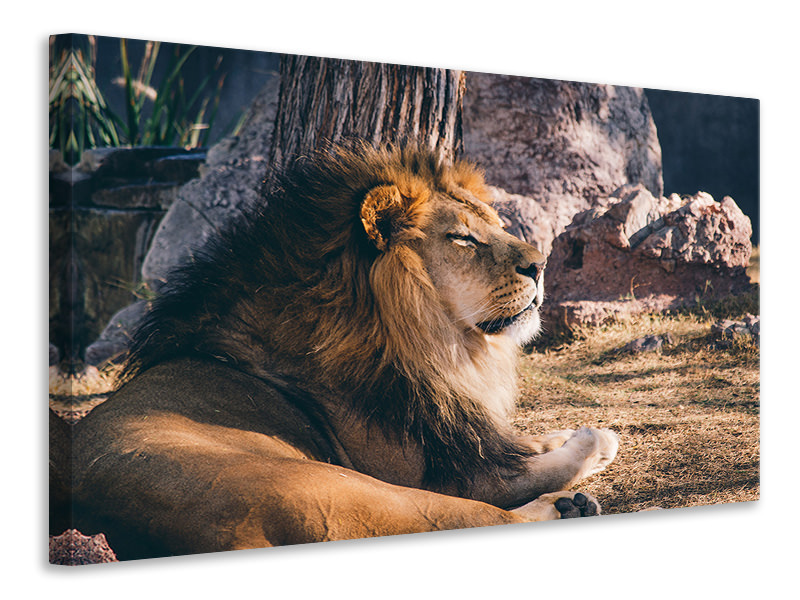 Canvas print Lion is sunning himself